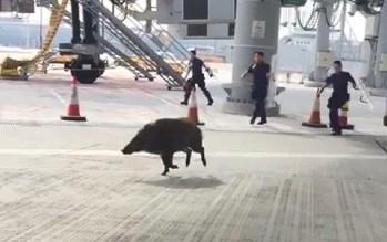 Nhân viên an ninh toát mồ hôi vây bắt lợn lạc vào sân bay 1
