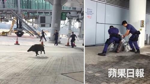 Nhân viên an ninh toát mồ hôi vây bắt lợn lạc vào sân bay 2