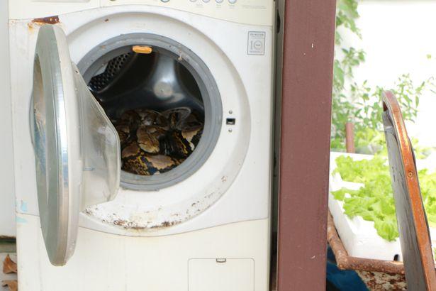 Clip: Bắt trăn dài gần 4 mét há miệng rình rập trong máy giặt 1
