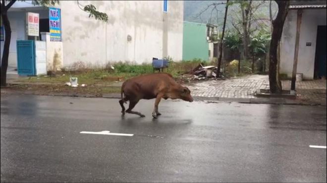 Video: Xót xa chú bò bị chặt chân lê bước trên đường vì lỡ ăn rau 1