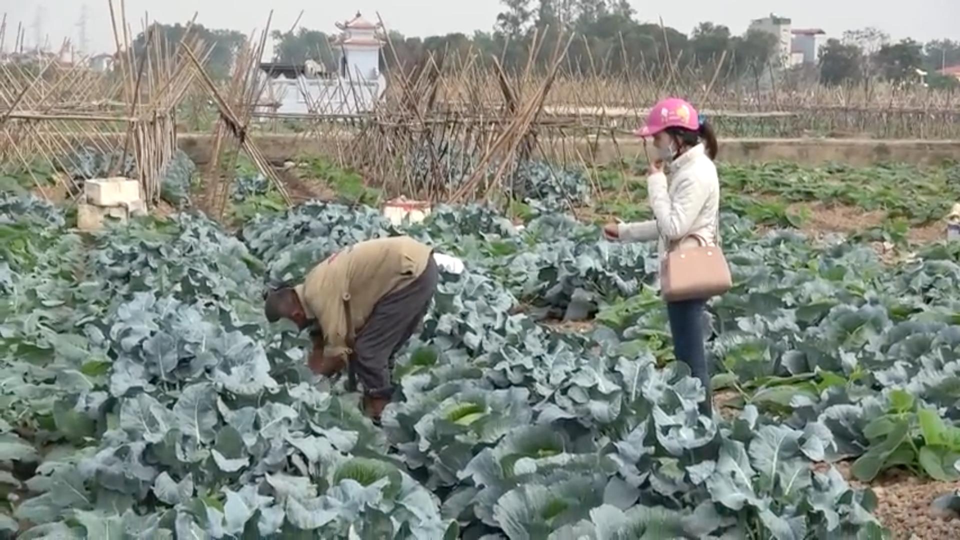 Hình ảnh Phóng sự của ANTV: Kinh hoàng rau sạch tưới nước thải độc hại tại Hà Nội số 5