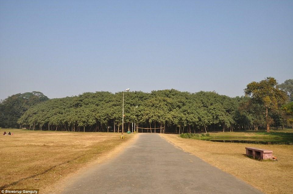 Cây đa khổng lồ có diện tích bằng cả khu rừng 1