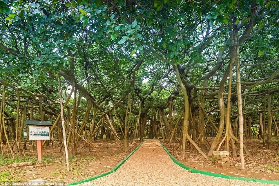 Cây đa khổng lồ có diện tích bằng cả khu rừng 3