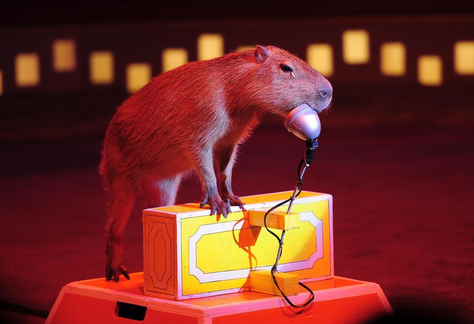 Hình ảnh Kỳ lạ với giống chuột khổng lồ thích giao lưu với các loài động vật ăn thịt số 4
