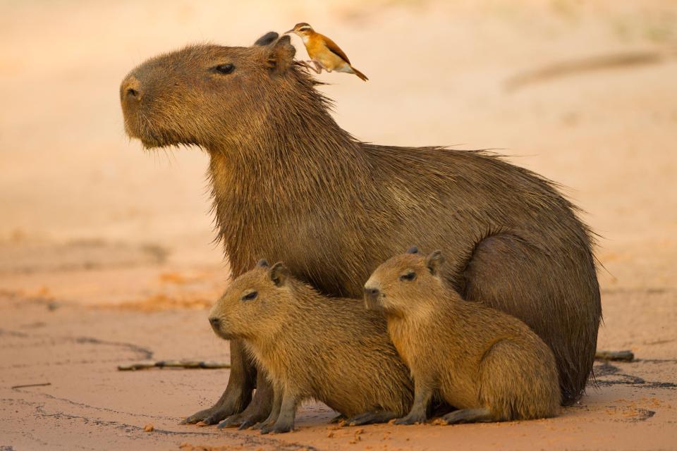 Hình ảnh Kỳ lạ với giống chuột khổng lồ thích giao lưu với các loài động vật ăn thịt số 2
