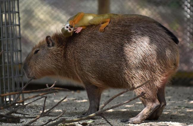 Hình ảnh Kỳ lạ với giống chuột khổng lồ thích giao lưu với các loài động vật ăn thịt số 1