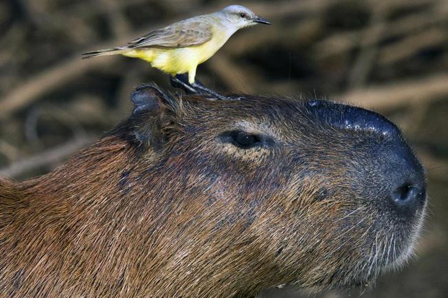 Hình ảnh Kỳ lạ với giống chuột khổng lồ thích giao lưu với các loài động vật ăn thịt số 8