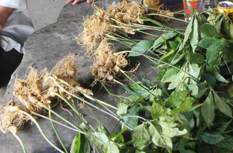 Vụ mất trộm hơn 500 gốc sâm Ngọc Linh: Bắt 1 cán bộ bảo vệ rừng 1