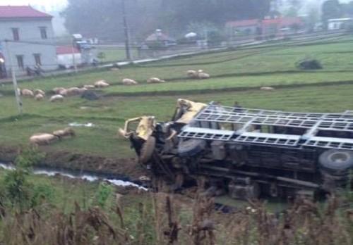 Hình ảnh Hàng trăm con lợn chạy lông nhông sau tai nạn xe tải và xe giường nằm số 1