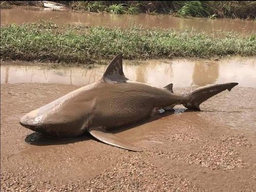 Lũ cuốn cá mập ăn thịt người lên giữa phố Australia 1