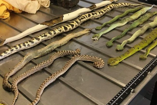 Australia: Hải quan hốt hoảng phát hiện rắn bò lổm ngổm trong gói hàng 1