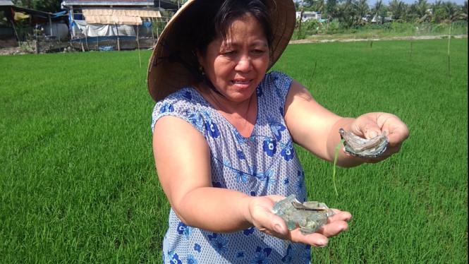 Ruộng lúa của người dân bị rải kín mảnh chai 1