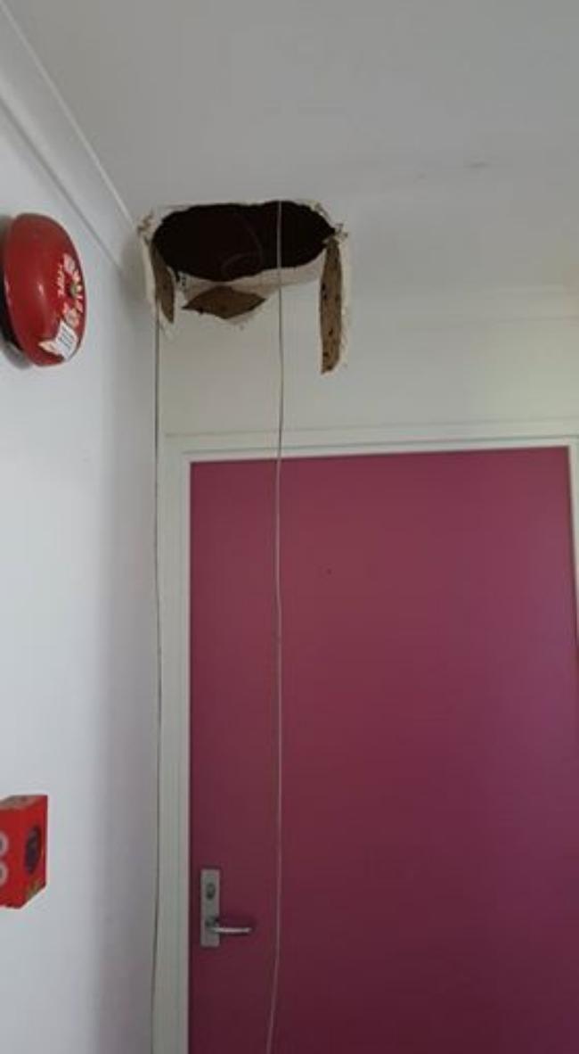 Thủng trần nhà, hoảng hồn phát hiện trăn khổng lồ cuộn tròn bên trên 1