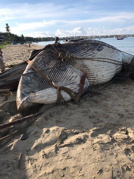 Cá voi 15 tấn dạt vào biển Mũi Né 3