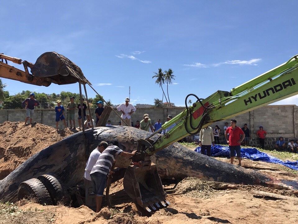 Hình ảnh Cá voi 15 tấn dạt vào biển Mũi Né số 2