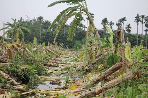 Giám đốc thuê hàng chục côn đồ chém nát 3.000 cây chuối của nông dân 1