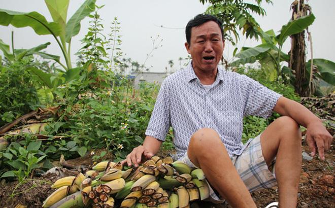 Giám đốc thuê hàng chục côn đồ chém nát 3.000 cây chuối của nông dân 2