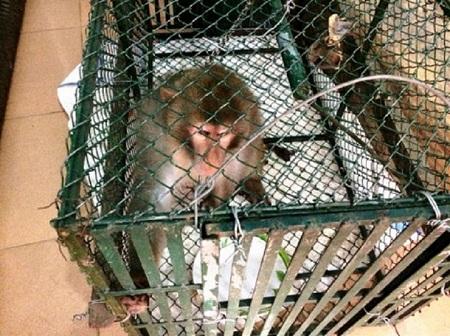Kiểm lâm bắt được khỉ