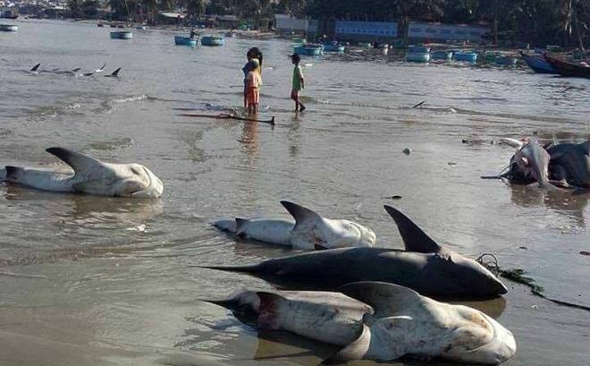 'Cá mập chết trắng bờ biển Mũi Né': Xem xét xử phạt người tung tin đồn 1