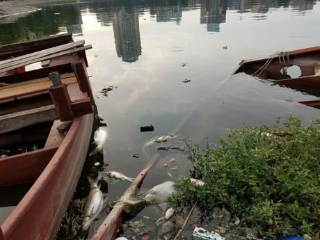 Cá lại chết trắng mặt hồ Hoàng Cầu sau đúng 1 năm 1