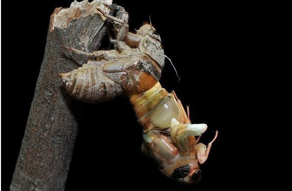 Loài côn trùng khiến người Mỹ sợ hãi nhưng người Việt lại đem chúng lên bàn ăn 4
