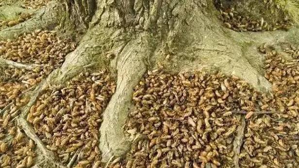 Loài côn trùng khiến người Mỹ sợ hãi nhưng người Việt lại đem chúng lên bàn ăn 5