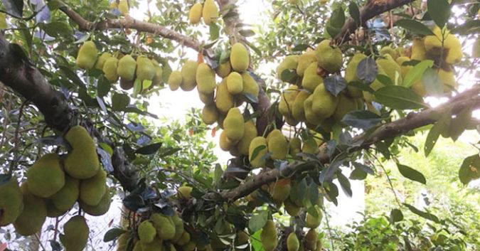 Ngắm cây mít gần 500 quả, sai từ gốc tới ngọn ở Quảng Ngãi  1