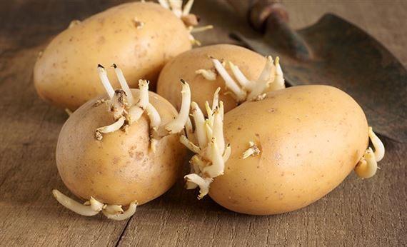 Những lưu ý khi chế biến món ăn từ khoai tây 2