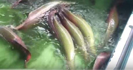Cận cảnh đàn cá hải tượng khổng lồ tiền tỷ của đại gia miền Tây 3