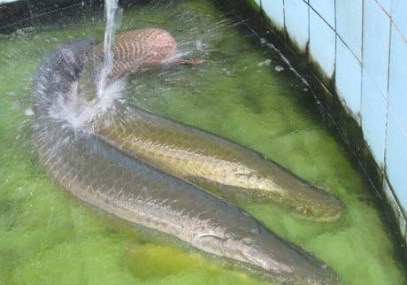 Cận cảnh đàn cá hải tượng khổng lồ tiền tỷ của đại gia miền Tây 6