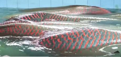 Cận cảnh đàn cá hải tượng khổng lồ tiền tỷ của đại gia miền Tây 8
