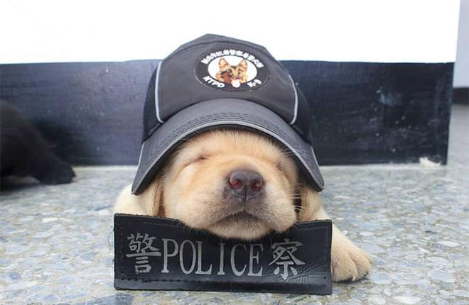 Hình ảnh 5 chú chó nhỏ siêu dễ thương tham gia lực lượng cảnh sát đốn tim cộng đồng mạng số 4