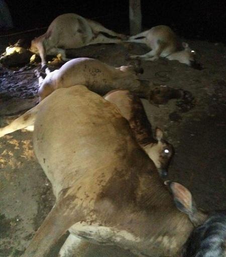 Sét đánh chết 5 con bò cột dưới sàn nhà, cả gia đình may mắn thoát nạn 1