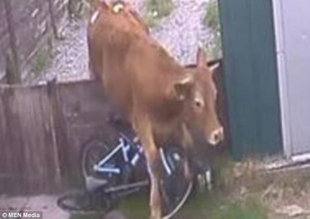 Hình ảnh Bị cô gái trẻ nhìn đểu, bò nổi điên nhảy qua hàng rào truy sát, thật may vì nó không quá thông minh số 1