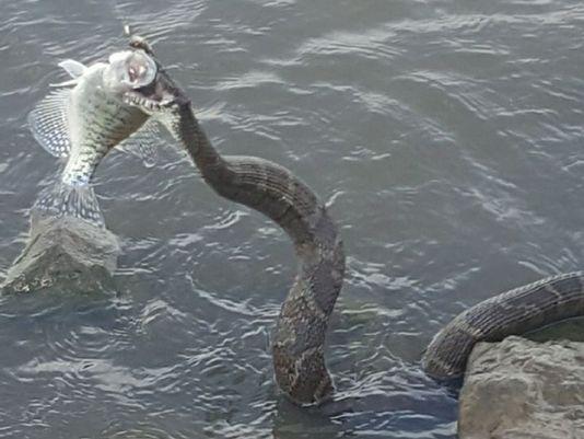Rắn khủng nhảy lên cướp cá của ngư dân Mỹ 1