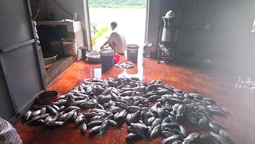 Thủy điện Hòa Bình xả lũ: Hàng trăm tấn cá lồng chết hàng loạt 1