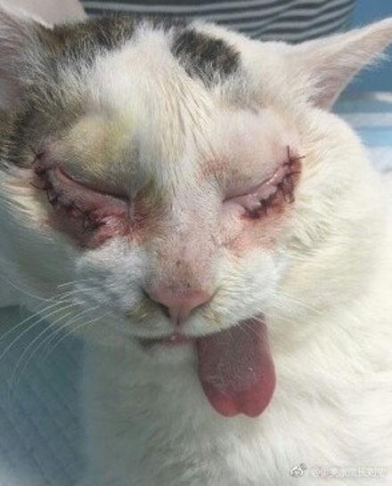 Phẫu thuật cắt mí mắt, mèo hoang trở thành