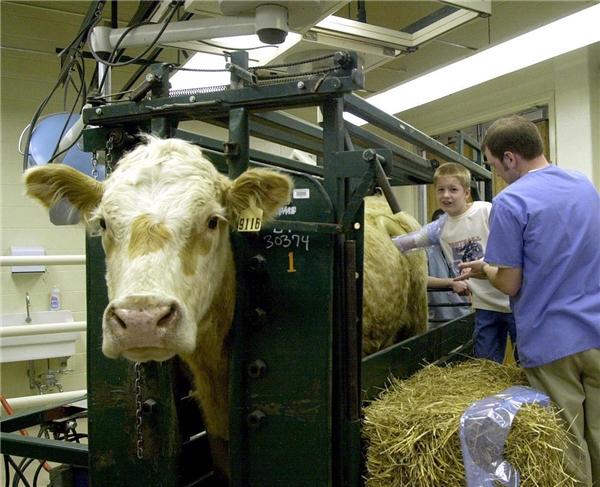 Hé lộ sự thật bất ngờ đằng sau những chiếc lỗ kinh hoàng trên bụng bò sữa 11
