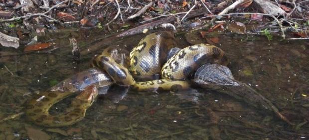 Trăn Anaconda hung bạo trong truyền thuyết cũng phải dè chừng với 2