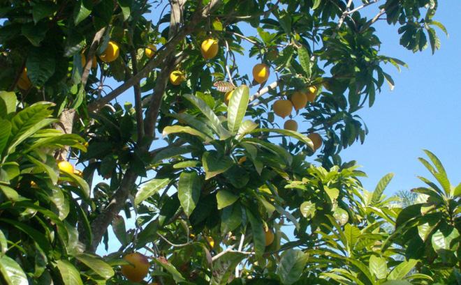 Hình ảnh Loại quả ở Việt rụng đầy vườn nhưng sang nước ngoài có giá 1,5 triệu/kg bột số 1