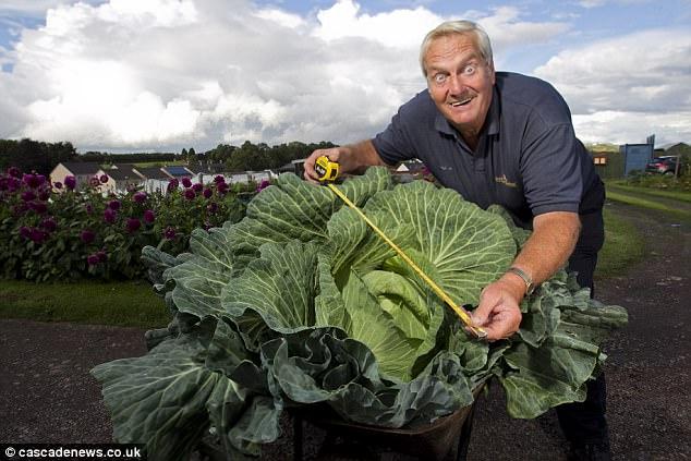 Hình ảnh Lão nông không cần phân bón vẫn trồng được bắp cải khổng lồ, nấu được 300 bát canh số 2