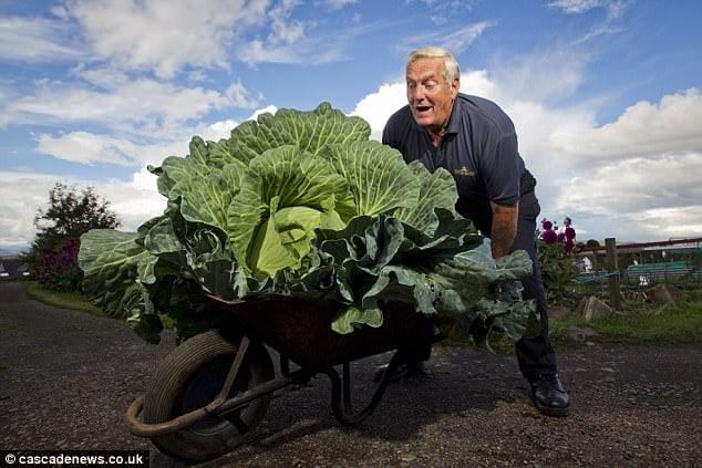 Hình ảnh Lão nông không cần phân bón vẫn trồng được bắp cải khổng lồ, nấu được 300 bát canh số 1