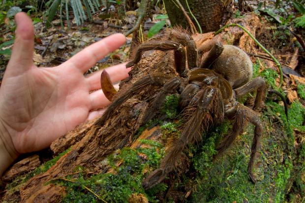 Hình ảnh Loài nhện lớn nhất thế giới có thể xơi tái chuột trong nháy mắt số 2