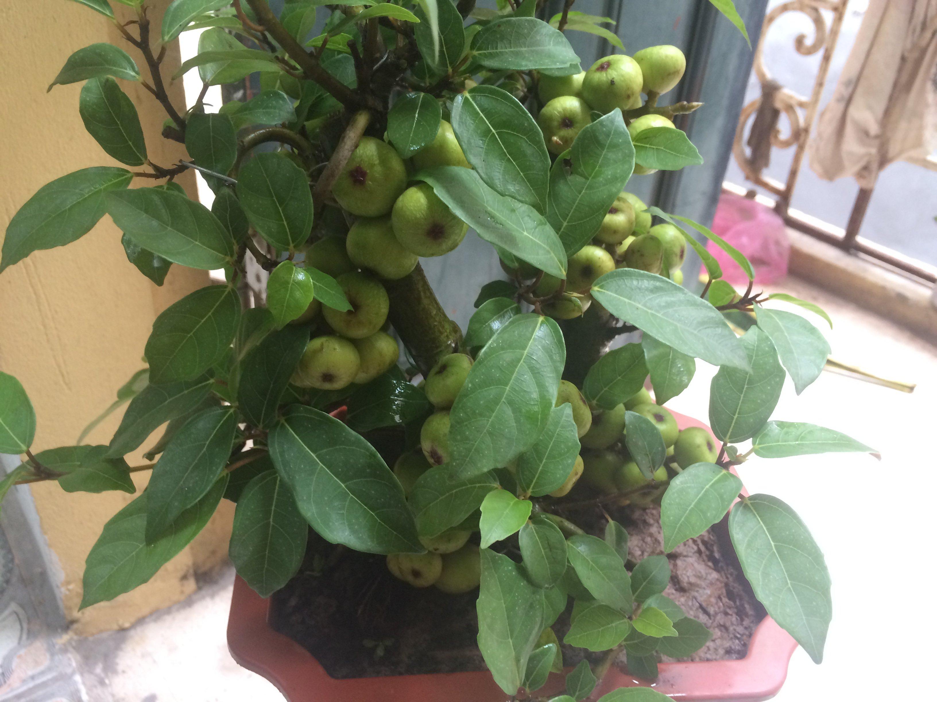 Hình ảnh Sự thật đằng sau những gốc sung bonsai quả chi chít từ gốc tới ngọn số 1