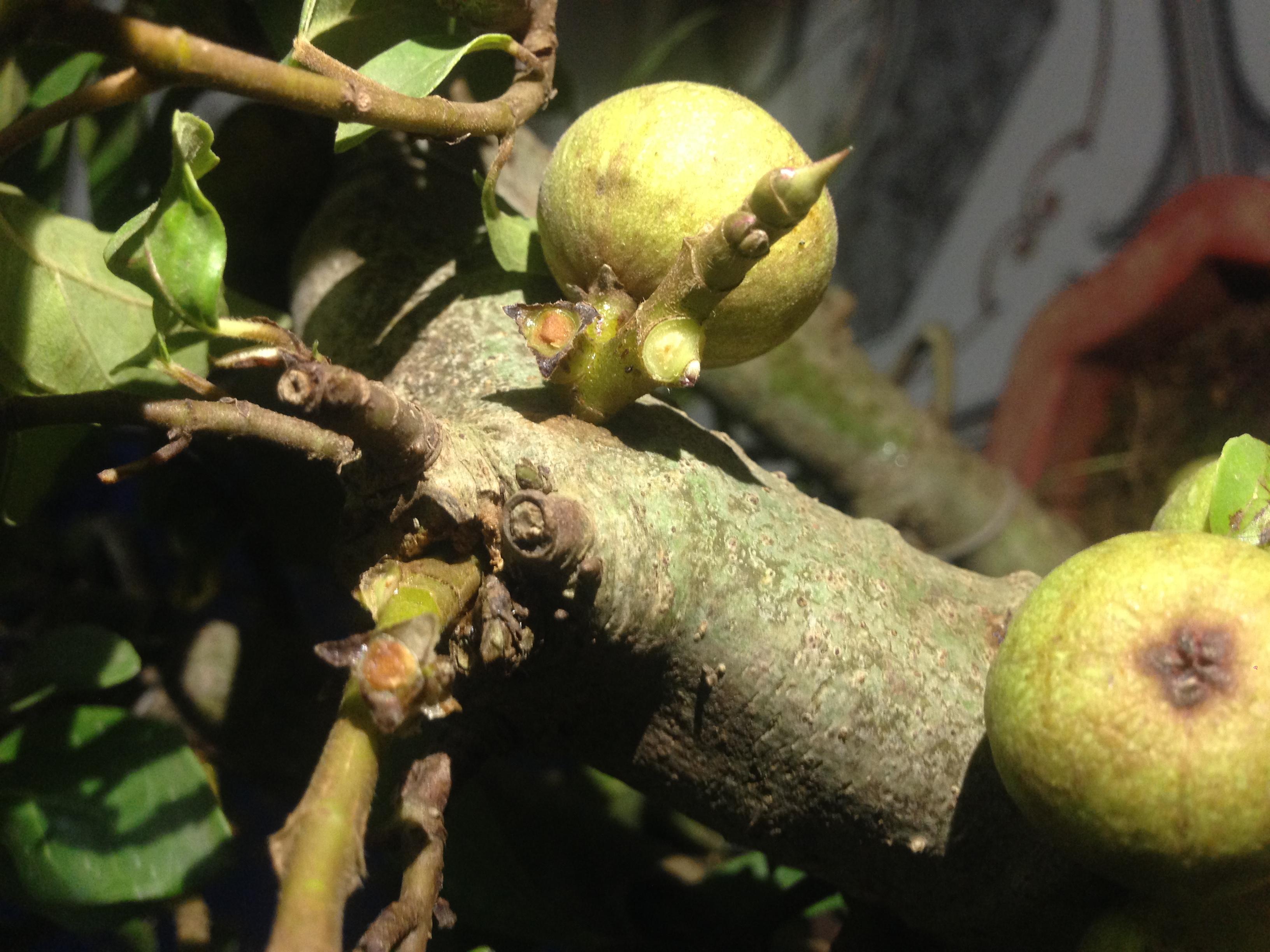 Hình ảnh Sự thật đằng sau những gốc sung bonsai quả chi chít từ gốc tới ngọn số 2