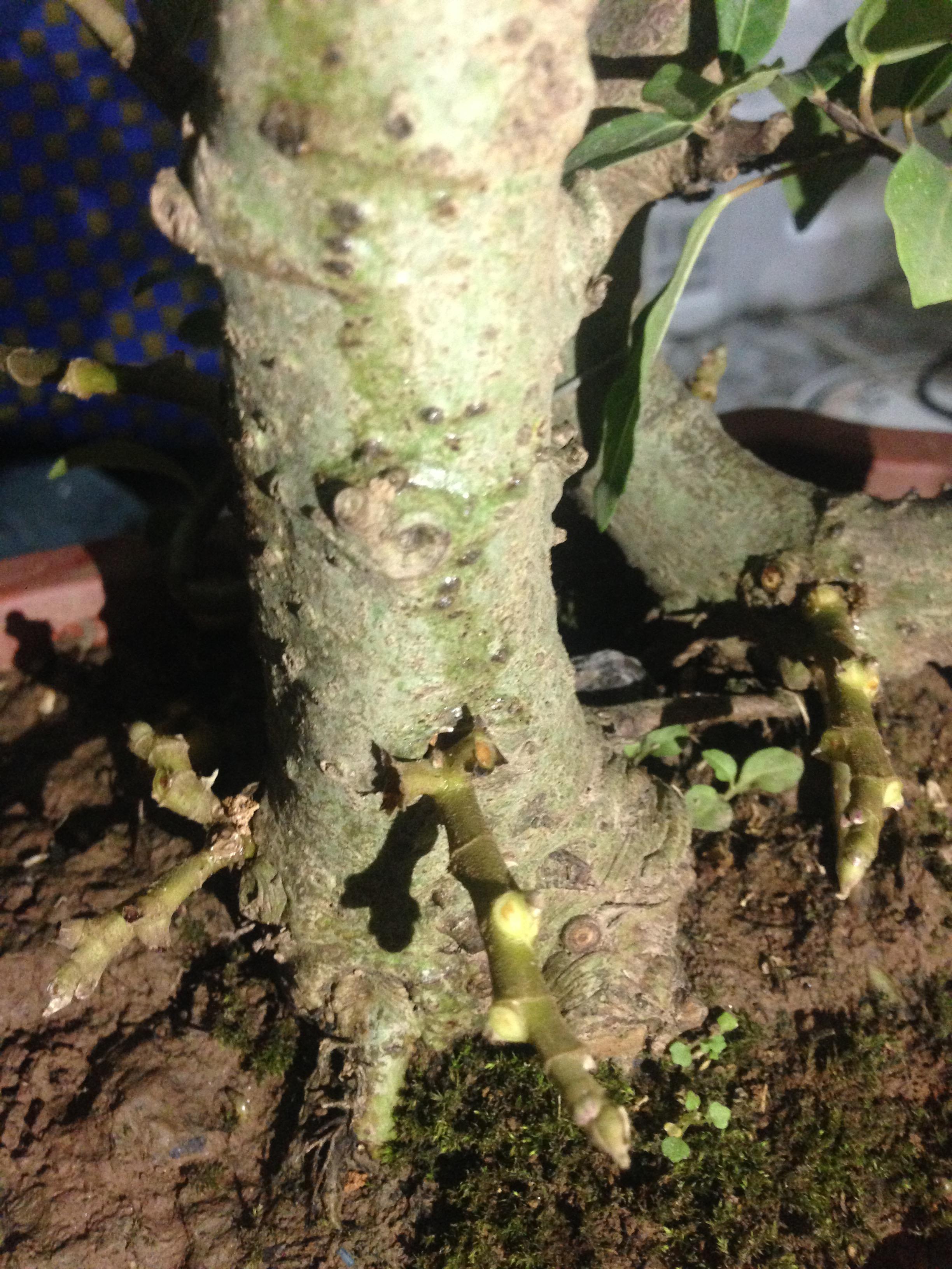 Hình ảnh Sự thật đằng sau những gốc sung bonsai quả chi chít từ gốc tới ngọn số 3