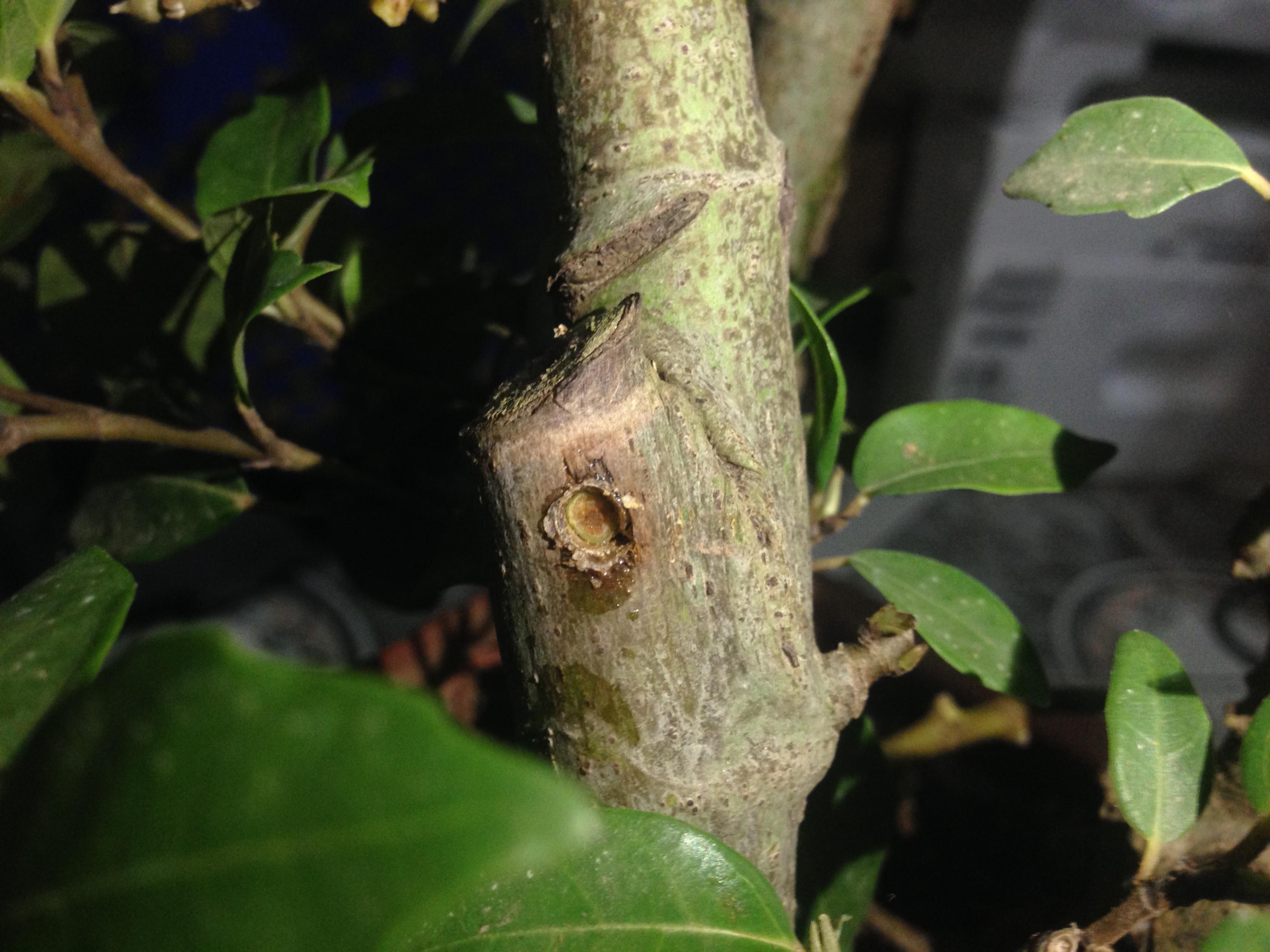 Hình ảnh Sự thật đằng sau những gốc sung bonsai quả chi chít từ gốc tới ngọn số 4