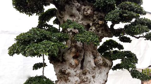 Chiêm người cây duối cổ
