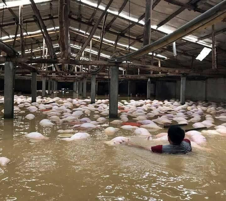 Hình ảnh Người dân bất lực nhìn 6.000 con lợn chết ngập trong lũ số 1