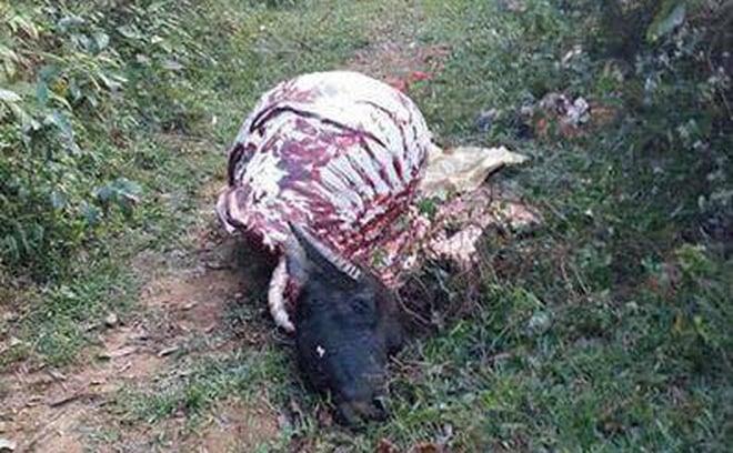 Trâu bị kẻ trộm xẻ thịt chỉ còn trơ bộ xương trên đồi 1